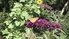 Buddleja davidii 'Royal Red' & Distelfalter (Redoute Gardener) Tags: distelfalter