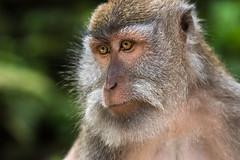 IMG_11458 (maro310) Tags: 2017 365project 70d asia bali canon indonesia monkeyforest southeastasia ubud animal autumn city colours fall island landscape monkey nature outdoor park portrait sightseeing urban 250v10f 500v20f