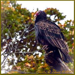 Sittin' Pretty (ctofcsco) Tags: 1640 300mm canon didnotfire ef28300mmf3556lisusm eos1dxmarkii esplora evaluative explore f56 flashoff iso50 photo pic pretty renown shutterspeedpriorityae superzoom unitedstates usa flashoffdidnotfire tree bird sky autumn eos1d x mark ii ef28300mm f3556l is usm canoneos1dxmarkii explored digital 1d 1dx mark2 markii