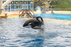 DSC_3403 (PiotrekSmyk) Tags: nikon d7000 nikkor 50mm f18 g tenerife loro parqe orca killer whale