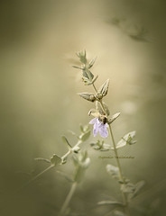 natures softness (Ifigeneia Vasileiadis) Tags: bee branch green lilac nature softcolors pastelcolors tair11a naturallight autumn