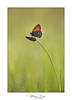 Fadet commun (Mig 74) Tags: fadetcommun animaux nymphalidae satyrinae papillondejour coenonymphapamphiluslinnaeus1758 procris rhopalocères 74 lieux flickr sentsauv domainedeguidou