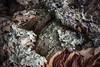 lichene su sughero (laura sinapi) Tags: sughero lichenefoglioso laurasinapi cork lichen licheni