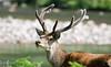 Stag (Alec-Gibson) Tags: reddeer stag scotland highlands glenetive
