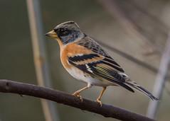 Brambling ( Fringilla montifringilla  ) (Dale Ayres) Tags: brambling fringilla montifringilla bird nature wildlife fringillamontifringilla