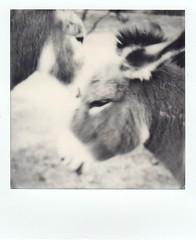 burros in the park (EllenJo) Tags: sx70 instantfilm polaroid bw polaroidoriginals theimpossibleproject impossibleproject december25 2017 ellen jo clarkdaleaz clarkdaleburros donkeys smalltownlife arizona az