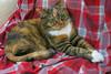 Gracie 19 December 2017 8047Ri 4x6 (edgarandron - Busy!) Tags: cat cats kitty kitties tabby tabbies cute feline gracie patchedtabby