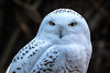 Schnee-Eule (Roman Achrainer) Tags: schneeeule eule vogel uhu tiere tierpark hellabrunn