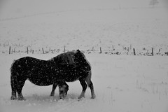 L'Aubrac l'hiver, chevaux rustiques (Michel Seguret Thanks for 14.1 M views !!!) Tags: france nature natur natura massifcentral froid cold frio kalt saison season winter inverno invierno neige snow neve schnee michelseguret nikon d pro
