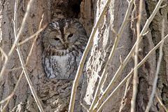 Tawny owl - Waldkauz (rengawfalo) Tags: eule strixaluco kauz vogel vögel bird animal wildlife waldkauz owl tawnyowl brownowl tree hawk forest