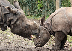 indian rhino Namaste and Karuna Blijdorp BB2A0655 (j.a.kok) Tags: rhino rhinoceros indischeneushoorn indianrhinoceros pantserneushoorn neushoorn blijdorp namaste karuna mammal asia azie zoogdier dier animal moederenkind motherandchild