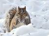 Séance de photographie avec ce mignon petit écureuil! (anniebevilacqua) Tags: animal écureuil squirrel faunemontréal montrealwildlife scènedhiver winterscene montreal québec