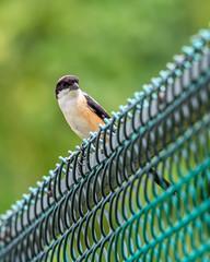 20171207-EM129429 (shutterblades) Tags: birds longtailedshrike olympusem1mkii olympusmzuiko300mmf4pro14tc yishunrainbowcentre