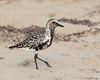 Black-bellied Plover (dennis_plank_nature_photography) Tags: blackbelliedplover padreislandnationalseashore avian birds nature