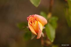 _DSC4761 (Adriano Clari) Tags: fiore flower rosa rose giardino summer garden esterno outdoor adriano clar macro