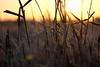 DSC04853 (mikael.kha248) Tags: winter snow ice nature depthoffield flora botanic botanica sunrise sunset wintersun wintersunset wintersunrise herbarium grass plants vegetable frost sunlight light winterlight micro micromacro macro macrophotography closeup sony sonysal5014 sal5014 alpha350 sonyalpha350