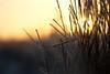 DSC04855 (mikael.kha248) Tags: winter snow ice nature depthoffield flora botanic botanica sunrise sunset wintersun wintersunset wintersunrise herbarium grass plants vegetable frost sunlight light winterlight micro micromacro macro macrophotography closeup sony sonysal5014 sal5014 alpha350 sonyalpha350