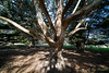 Close Encounter of the Tree Kind (Roy Prasad) Tags: sony a7rm2 a7r prasad royprasad santacruz california tree light shadow