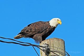 Bald Eagle 17-1231-0354
