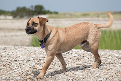 Hugo at the beach (R Glen Grusmark) Tags: dogs ocean screensaver water harbor tippy barnstable sandyneck ma hugo massachusetts unitedstates us