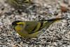 Lucherino - Carduelis sèinus (Alberto Piselli) Tags: lucherino avifauna racconigi centrocicogneeanatidilipu
