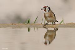 _SEN3805-E2 (Sento74) Tags: jilguerocomún cardueliscarduelis aves birds fauna nikond500 tamron150600