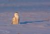 Snowy Owl (Ron Gallagher Photography) Tags: bird birds birding birder birders birdofprey hunting hunter sault saultstemarie snowy snow snowyowl snowie soo garden gardenriver great arctic arcticowl arcticbird american