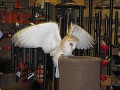Barn Owl (DianesDigitals) Tags: dianesdigitals owls barnowl tytoalba mountsbergraptorcentre wildbirdsunlimitedbarrie shdow