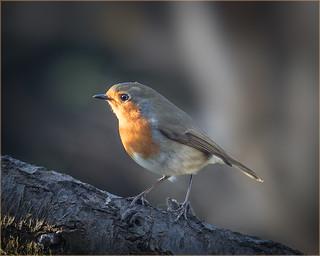 Robin in a sunbeam...