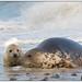 Grey Seal with baby seal - Grijze zeehond met baby (Halichoerus grypus) ...