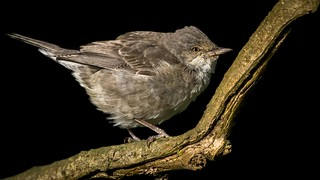 Barred Warbler.