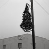 Christmas Tree, Oakesdale, Washington (austin granger) Tags: oakesdale washington palouse christmastree tree post winter fog fraternalhall evidence religion pole square film gf670