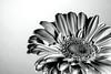 Daisy Art (Leslie Victor) Tags: monochrome blackandwhite daisy gerbera fineart
