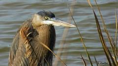 Hiding Heron (Suzanham) Tags: bird animal water lake grass wildllife nature mississippi noxubeewildliferefuge heron plumage greyheron ardeidae wetlands reeds winter fanasticnature