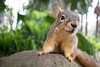 Acute vision and having a dozen or so security cameras keep Jellybean Lollipop abreast of any evildoers climbing his tree. (HellaDamnSquirrels) Tags: squirrels rodent oakland lake merritt hella damn
