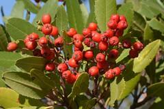 Christmas berries on native Toyon (Heteromeles arbutifolia, Rosaceae) (Treebeard) Tags: christmasberry toyon californiaholly heteromelesarbutifolia rosaceae sanmarcospass santabarbaracounty california