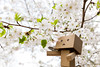 Under the cherry blossoms (Arielle.Nadel) Tags: danbo danboard yotsuba spring cherryblossoms