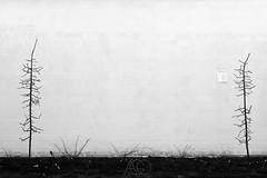 2 (agnes.mezosi) Tags: trees tree minimalism minimalistic minimalart minimalist simplicity simple tranqility silence