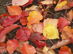 Fall colors - P1210594 (tend2it) Tags: bay area nature trail california usa calif fall color leaves leaf fallen red yellow orange catchycolors