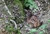 Faon de Cervus elaphus, le cerf rouge ou cerf élaphe, red deer. (chug14) Tags: unlimitedphotos animalia mammalia cervidae artiodactyla faon cerfrouge reddeer cerfélaphe cervuselaphus