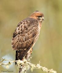 Red-tailed Hawk (Raymond Parsons) Tags: bird hawk redtailedhawk buteojamaicensis ridgefield ridgefieldnwr washington ai1i2676