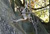 DSC_4439_RAW (kentsang66) Tags: monkey 猴子