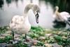 Young Swan // Amsterdam Jachthaven Olympia (Merlijn Hoek) Tags: olympiakanaal amsterdam swan zwaan animal dier jongezwaan youngswan jachthavenolympia