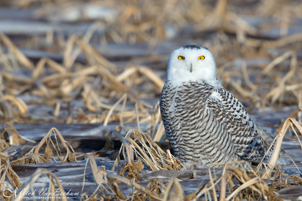 Expect The Unexpected! (Snowy Owl) - Explored