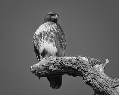 B&W Raptor #97 (lennycarl08) Tags: raptor birdofprey birds bird redtailedhawk hawk