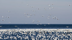 Snow Geese at Lewes Beach, Delaware (dckellyphoto) Tags: delaware lewes lewesbeach lewesbeachdelaware 2017 december ef75300mm snowgeese coast coastline shore shoreline atlanticocean birds blueazul bluestblue blue ansercaerulescens
