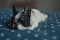 This is how the first days of a new year look like.. (air_dan) Tags: mr z french bulldog