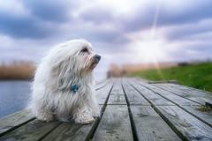 Mika am Naturhafen Stolpe (buchsammy) Tags: 2018 flare hafen stolpe urlaub usedom havaneser hund mika