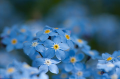 Forget-me-not (Enaruna) Tags: blooming blossom blossoming blossoms blumen blühend blüte blüten flower flowering flowers forgetmenot pflanze pflanzen plant plants vergissmeinnicht