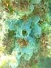 Ascidians? (Figgles1) Tags: p1100197 coogee portcoogee port north wall suesgroyne sues groyne groynes snorkel snorkeling ascidian ascidians